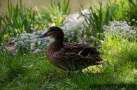 A duck in Royal Baths Park in Warsaw/ Kaczka w Parku Łazienkowskim w Warszawie