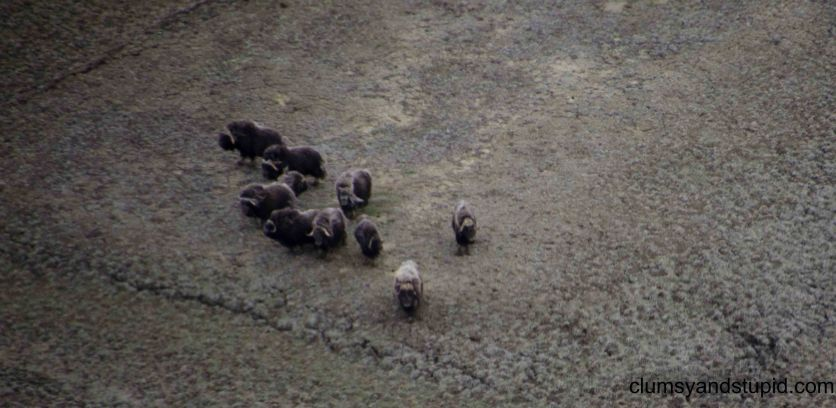 One of many herds of muskox
