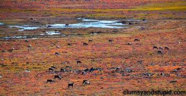 The Bathurst Caribou herd on the move during the fall migration