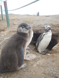 Baby penguin in front of nest